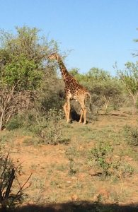 One of the locals from the Mokolodi Nature Reserve